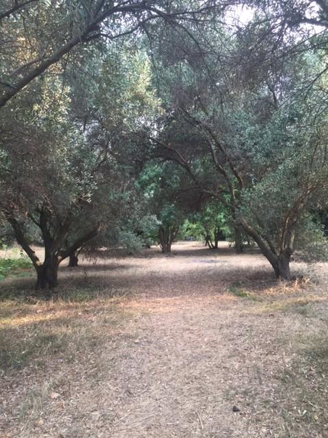 De olijfbomen van Chaniotis